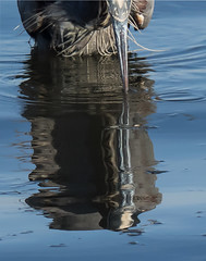 Heron Beak & Reflection (glimpsesborrowed) Tags: canada bird britishcolumbia vancouverisland greatblueheron gbh