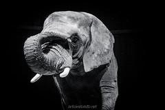Croisé pendant un footing... (Ant0ineDAVID.net) Tags: blackandwhite bw elephant animal canon big noiretblanc nb explore tamron cirque f28 lightroom éléphant desat 1750mm 60d seeninexplore