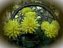 Dahlias'  Morning  Greeting. (lmarchand59) Tags: flowers summer yellow dahlias leavesgreen