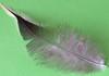Kleine Hühnerfeder++Small chicken feather (@frauchi) Tags: macro closeup details natur makro federn vogelfedern hühnerfeder