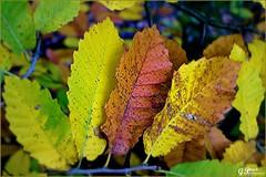 PALETTE DE COULEURS D'AUTOMNE (Gilles Poyet photographies) Tags: automne arbre soe auvergne feuilles beaumont puydedme autofocus lachtaigneraie aplusphoto artofimages rememberthatmomentlevel1 rememberthatmomentlevel2