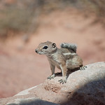 "Animals of Valley of Fire<a href=""http://www.flickr.com/photos/28211982@N07/15772023107/"" target=""_blank"">View on Flickr</a>"