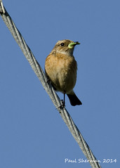 Bird on a wire (muppet1970) Tags: bird female suffolk wire wildlife cable caterpillar stonechat shinglestreet