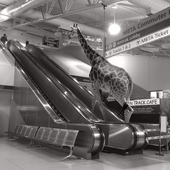 She was an escalator rule breaker (Janine Graf) Tags: boston train escalator surreal amtrak surrealist giraffe mbta hysterical cautiontape sotired rulebreaker disembark threwup juxtaposer wrongstation scratchcam janinegraf squaready iphone5s whereseddieredmaynewhenyouneedhim
