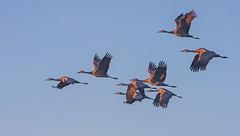 Sandhill Cranes In The Morning Sunrise (Atascaderocoachsam) Tags: sandhillcrane birdwatcher