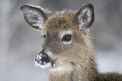 Snowflake (Renald Bourque) Tags: snowflake deer doe chevreuils chevreuil quebec canada canon hiver fabuleuse