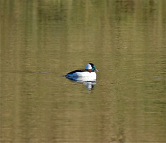 Bufflehead Male (jerrygabby1) Tags: