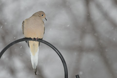 Mourning Dove on Feeder Pole_42866.jpg (Mully410 * Images) Tags: winter snow cold bird birds backyard dove birdfeeder snowing mourningdove birdwatching birder