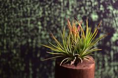 Turning Red (Lynn Wen (pandadd)-BUSY!) Tags: plant macro green nature nikon tillandsia fuego ionantha naturemacro 105mm afsvrmicronikkor105mmf28gifed nikond810