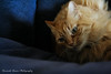 Playful (RickyV88) Tags: pet cats pets playing beautiful animal animals cat canon canon350d dslr cateyes canondslr gingercat gingercats catplaying animalphotography petphotography beautifulcat beautifulcats playingcat canoneso