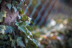 ivy (hansekiki ) Tags: canon bokeh pflanzen blatt bltter jupiter9 sovietlens jupiter985mmf20 5dmarkiii