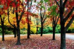 Autumn foliage (hmeyvalian) Tags: niagara