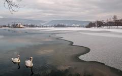 swans (12) (Vlado Ferenčić) Tags: winter swan lakes croatia swans tamron175028 nikond90 zaprešić lakezajarki