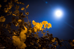 Day 7/365 - Illuminated Rose (iClickWheels) Tags: california roses moon canon project lens 50mm san shot bokeh jose moonrise astrophotography flare 365 f18 60d