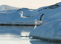 chinstrap penguin Half Moon Island (Michael Leggero) Tags: ocean winter snow bird ice nature water animals landscape penguin jumping gentoo wildlife south antarctica southern chinstrap halfmoonisland coldtemperature michaelleggero