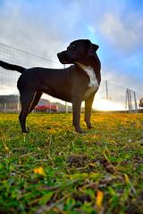 Xena (g.a.z.a.) Tags: dog labrador staff hund xena leoben hundewiese niklasdorf