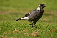 Strutting around (Luke6876) Tags: bird animal wildlife magpie australianwildlife butcherbird australianmagpie