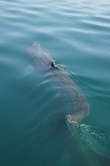 Food on the go. (MSGS4) Tags: ireland harbour cork sharks basking