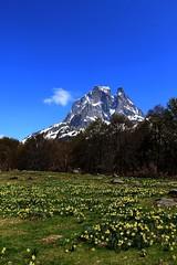 Jonquilles sous le Pic du Midi d'Ossau (escaledith) Tags: france nature fleurs 64 pyrnes jonquilles randonne pyrnesatlantiques picdossau