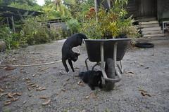 _DSC1071 (mohamad_hassrul) Tags: pet cats cute nature animal cat blackcat comey blackcats binatang cuteanimal catplay cutepet kucinghitam binatangcomel haiwanpeliharaan haiwancomel haiwanpeliharaancomel haiwanpeliharaancomey haiwancomey binatangcomey