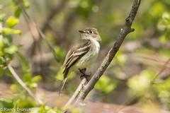 Least Flycatcher (rdroniuk) Tags: birds passerines smallbirds flycatchers empidonaxminimus oiseaux passereaux moucherolletchbec