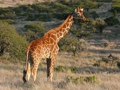Giraffe at Samburu ! (Mara 1) Tags: africa trees green face outdoors kenya wildlife ear giraffe samburu shrubs