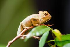 Freya3 (marlin_666) Tags: macro dragon young chameleon chamäleon jemen