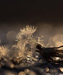 Pluie de bokeh! (pascaleforest) Tags: sunset macro nikon bokeh passion matin pissenlit