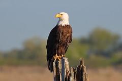 Bald Eagle (brian.bemmels) Tags: bc eagle baldeagle bald delta brunswickpoint