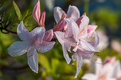 the scent of spring (jimmy_racoon) Tags: flower canon is droplets spring azalea 70200 xsi f4l 450d 70200f4lis canonxsi