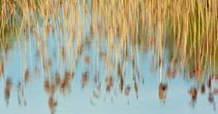 Reflections at Brandon Marsh (robmcrorie) Tags: reflection reed pool lens ed nikon teal wildlife brandon trust marsh coventry nikkor warwickshire vr 56 200500 sssi