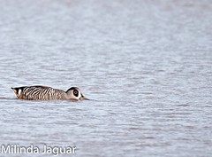 Pink-eared duck swimming (OM-Digital - on and off the net) Tags: pink photography photo duck flickr nikkor afs 200500mm d300s