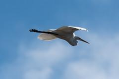 (Rick 2025) Tags: birds inflight greategrets