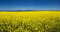 Amarillo colza Pano.- Yellow rapeseed.  N87 (Yon Ibarrra) Tags: flowers blue sky espaa flores beautiful yellow azul la spain panoramic amarillo cielo panoramica rioja belleza 2016 baares