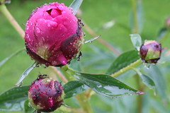 Come Wind or Rain (Ryan Ojibway) Tags: pink flower water rain ant peony droplet