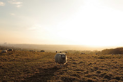 Sheep at Tenantry Down (rob orchard) Tags: sunset brighton sheep canon247028l tenantrydown