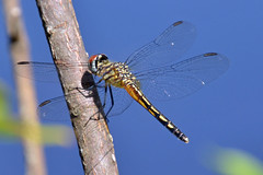 Blue Dasher (female): Pachydiplax longipennis (Stan in FL) Tags: blue unitedstates florida dragonflies dragonfly fl tamron dasher pachydiplax longipennis d5100 withlaccochee