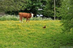Village life (warrior1) Tags: uk nature field cow spring norfolk farmland eastanglia buttercups villagelife canoneos5dmkii canonef50mmf18mkiilens