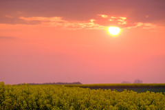 Sunset fields (Hkan Dahlstrm) Tags: sunset sky field yellow photography se skne sweden uncropped f71 raps rapeseed trelleborg 2016 skneln xe2 160sek xc50230mmf4567ois trelleborgv 2519052016204559