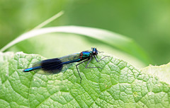 Male Banded Demoiselle (Calopteryx splendens) (RiverCrouchWalker) Tags: male insect leaf spring centralpark may damselfly essex invertebrate chelmsford 2016 bandeddemoiselle calopteryxsplendens rivercan