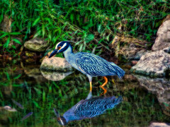 the Fisher King (boriches) Tags: heron blue
