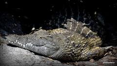 1-DSC_4583 pls enlarge, ?smiling? sleepy alligator on my candid camera, Le Cornelle (profmarilena) Tags: closeup alligator alligatore lecornelle