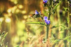 Gold & Purple (flashfix) Tags: flowers plants ontario canada green nature field butterfly bug insect nikon purple bokeh vibrant ottawa moth mothernature 2016 d7000 55mm300mm 2016inphotos june292016