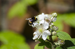 Lunch is served (garlick.rachel) Tags: flowers food plants green nature yellow insect wasp stripes bee nectar