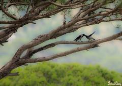 Love is in the air - birds at Pineland (Salim El Khoury) Tags: wood trees wild lebanon tree bird love tourism nature birds pine photography nikon branch zoom wildlife telephoto pines tele pineland capturethemoment d7200
