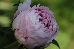 Pink peony about to bloom (CCphotoworks) Tags: pink flowers macro nature pretty bokeh peony perennials pinkflowers flowermacro fragrantflowers pinkpeony gardenfavourite