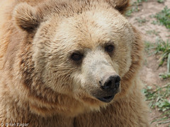 Young Grizzly Bear Portrait (brianeagar) Tags: bear nature animal outside outdoor wildlife idaho grizzly grizzlybear