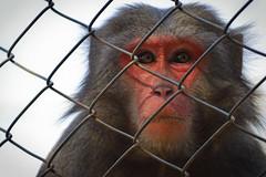 Pensamento (fotosthemis) Tags: brazil eye brasília brasil zoo monkey eyes olhar nikon df thought district olhos calm macaco zoológico olho nikkor dslr prision brasilia distritofederal pensamento distrito zoologic calmo prisão prisioner prisioneiro d3200