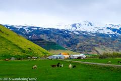 Iceland Day 10: orvaldseyri (wanderingYew2) Tags: cow iceland sheep farm eyjafjallajkull orvaldseyri fujixpro2