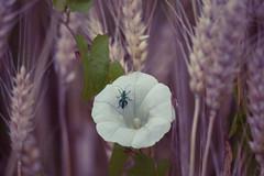 Sideway Beauty (HikerandBiker) Tags: blumenundblten bug canon canonef70300mmf456isusm canoneos5dmarkii corn cornfield korn kornfeld kfer outdoor